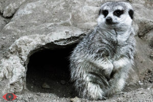 WILDLIFE PHOTO MEERKAT