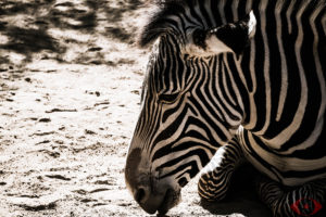 WILDLIFE PHOTOGRAPHY ZEBRA